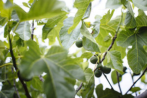 ripening figs on a tree