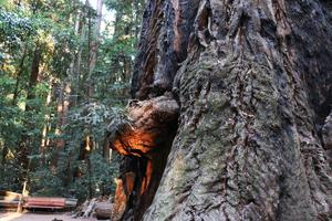 """bear"" emerging from a redwood in Henry Cowell State Park"